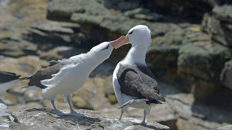 """The start of an elaborate black-browed albatross courting ritual.  Albatrosses are the most marine of all birds.  Their true home is any ocean in the Southern hemisphere.  The only time they return to land is to breed. They mate for life and when on land, as above, often renew their bonds.<br /> <br /> The black-browed's are long-lived (up to 70 years) and, as albatrosses go, medium-sized (7 ft wingspan).  Once fledged, they'll stay at sea for 2-3 years and then return to the breeding colony to """"practice"""".  They won't actually produce young for another 7 years."""
