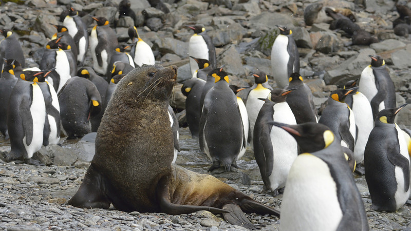 King penguins and fur seals shared Hercules Bay with the macaronis and the occasional gentoo.