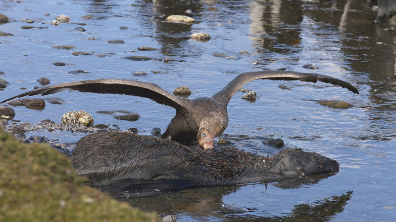 Giant petrel ripping apart a dead fur seal.