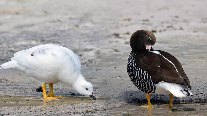 Male and female kelp geese.
