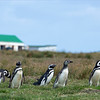 The local farmers and the magellanic penguins have figured out how to co-habitate.