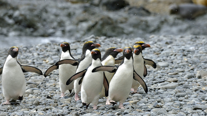 Macaroni penguins.