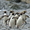 Macaroni penguins.