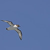 A much smaller cape petrel.