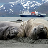 Southern elephant seals.  They're larger than ours, but the males' noses are less pronounced