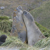 Young male elephant seals sparring.  The really big males had already gone back to sea.