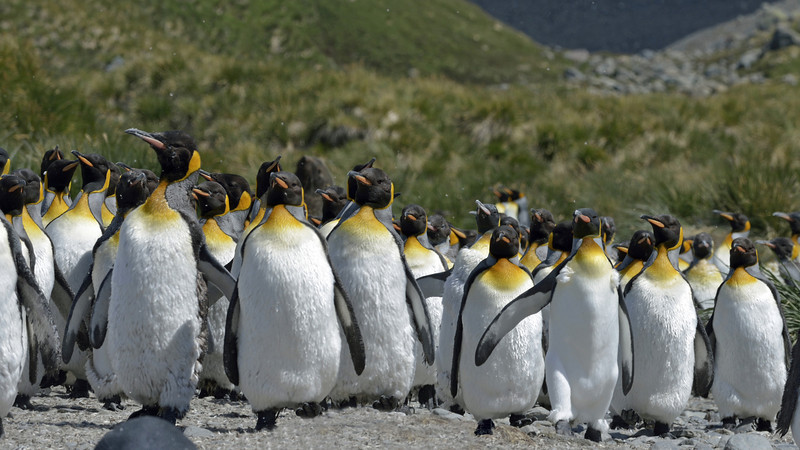 These penguins are moulting.  Penguins begin moulting soon after their chicks have become independent.  Polar penguins replace their entire plumage at one time, a process known as a catastrophic moult.  It takes weeks to complete and is quite a stressful time for them.