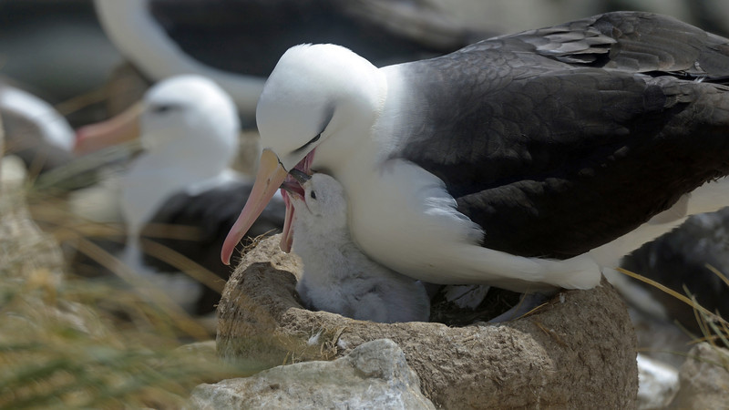 Both parents brood the single egg laid each year and then share feeding responsibilities.  One parent stays home with the egg or chick while the other goes to sea to feed.