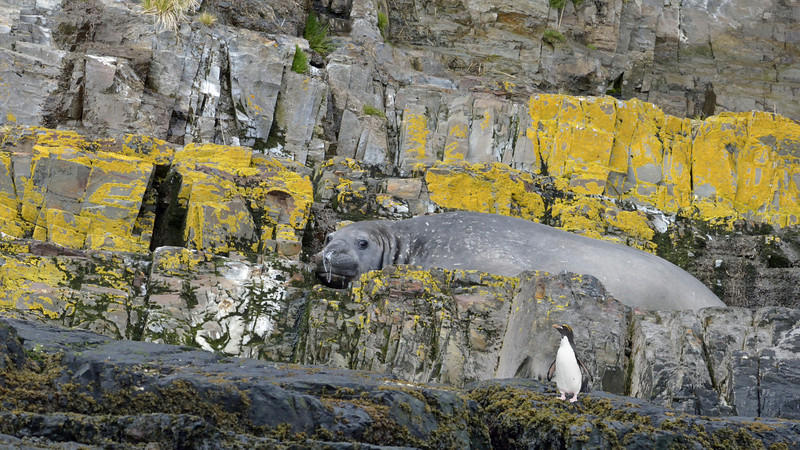 Couldn't have been easy for this elephant seal to climb the cliff. The resting spot must have been worth the effort.