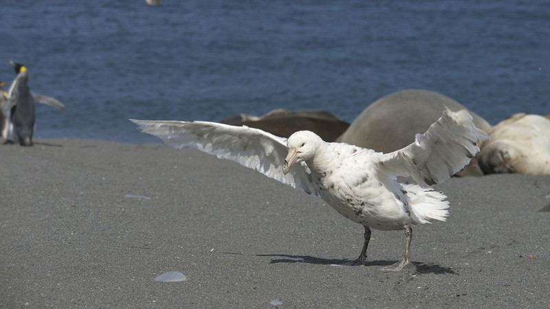 We found this white morph giant petrel on the way back to the zodiak.
