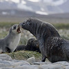 This photo shows the enormous size difference between male and female fur seals.