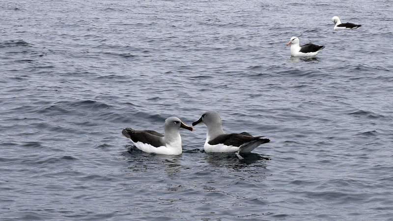 I decided to leave my big camera on the ship and just enjoy the ride.  Naturally, something incredible happened.  These gorgeous grey-headed albatross swam right over to our zodiak.  I whipped out the point-and-shoot and did the best I could.