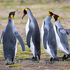 King penguins, St. Andrews Bay, South Georgia Island