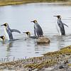 King penguins, Peggotty Bluff, King Haakon Bay, South Georgia Island.