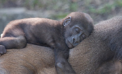 Baby Gorilla riding on Mother. Taronga Zoo, Sydney, Australia.