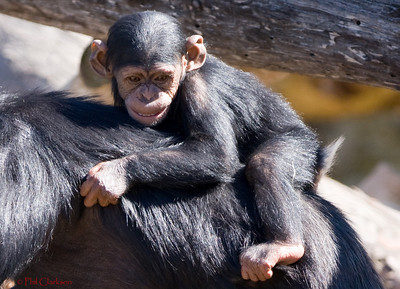 Chimpanzee baby holding on to mother. Taronga Zoo, Sydney, Australia.