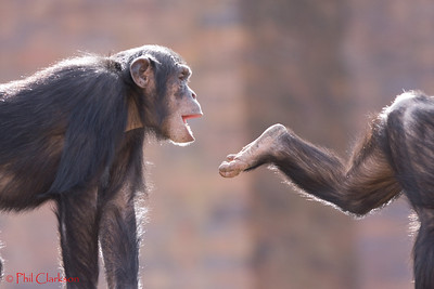 Young Chimps at play. Taronga Zoo, Sydney, Australia.