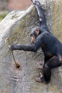 Chimp using tool to get food. Taronga Zoo, Sydney, Australia.