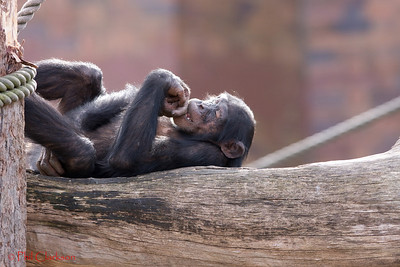 Chimpanzee at rest, taronga Zoo, Sydney, Australia