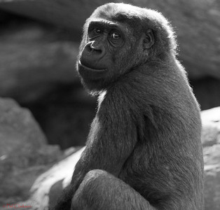 Young Gorilla, Taronga Zoo, Sydney, Australia.