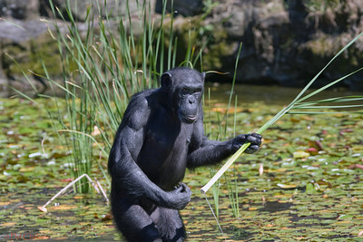 Chimp getting reeds from pond. Taronga Zoo, Sydney.