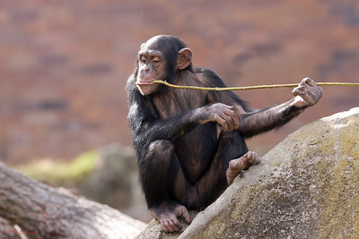Chimpanzee using tool, Taronga Zoo, Sydney, Australia