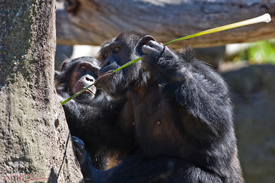 Chimp, having pulled a reed out of water uses it as a tool. Taronga Zoo, Sydney.