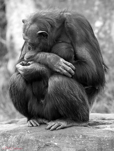 Chimpanzee mother holding baby. Taronga Zoo, Sydney, Australia