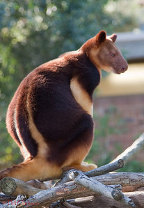 Tree Kangaroo at Taronga Zoo, Sydney, Australia