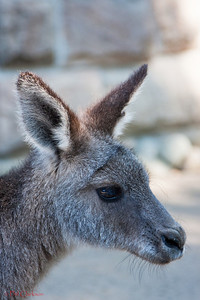 Eastern Grey Kangaroo, Taronga Zoo, Sydney, Australia