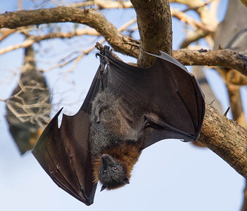 Grey headed flying fox  (Pteropus poliocephalus)