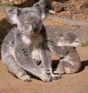 Koala Bear and baby. Sydney, Australia