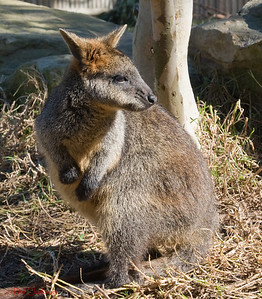 Swamp Wallaby, Taronga Zoo, Sydney, Australia