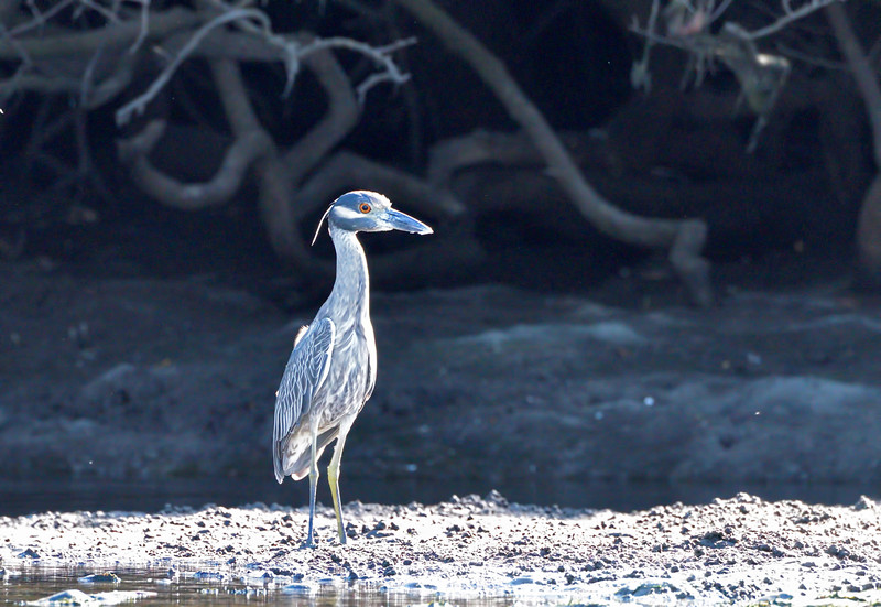 Night heron in the midday sun