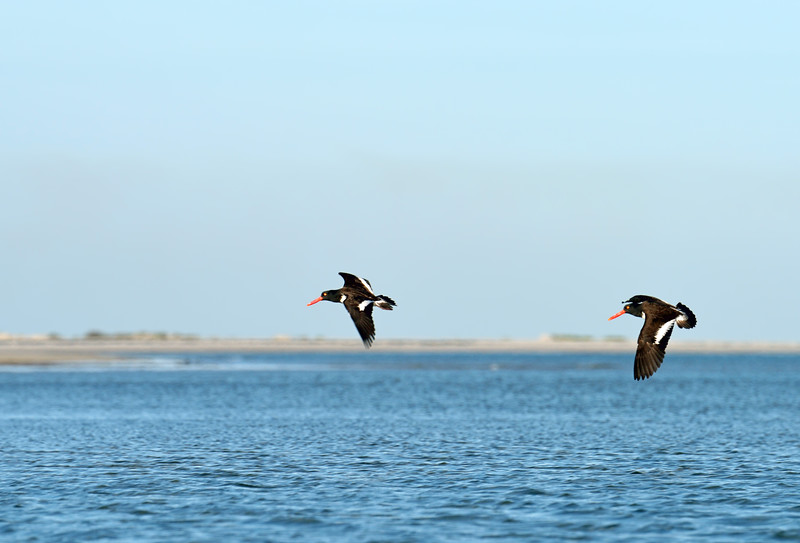 Oyster catchers heading for shore