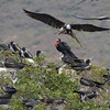 Frigate bird nesting colony along the way