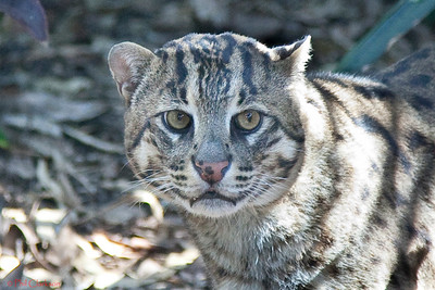 Fishing Cat, Taronga Zoo, Sydney, Australia