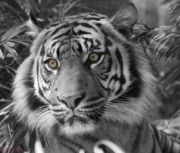 "Bengal Tiger in ""black and white"" with original eye colour"