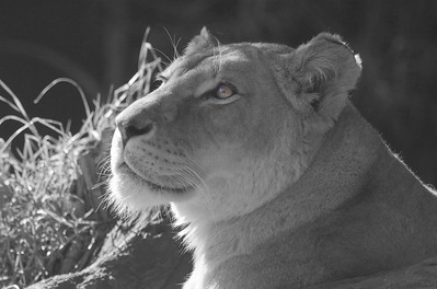 Lion photographed at Taronga Zoo, Sydney, Australia (B & W with original eye colour)