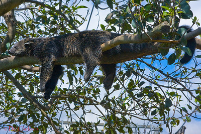 Binturong (or Asian Bearcat). Actually neither a cat or bear.