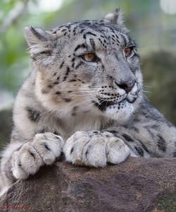 Snow Leopard, Taronga Zoo, Sydney, Australia