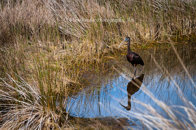 Glossy Ibis - Looking for Lunch