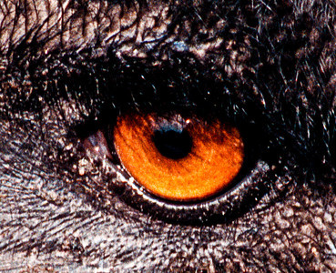 Close up shot of an Emu, focused on the eye.
