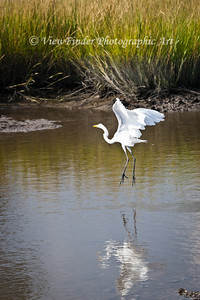Eastern Great Egret makes a landing in the shallows of a tidal marsh.