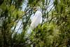 Great Egret At Rest