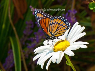 Monarch Captured in Yorktown