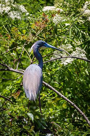 Blue Heron at Rest