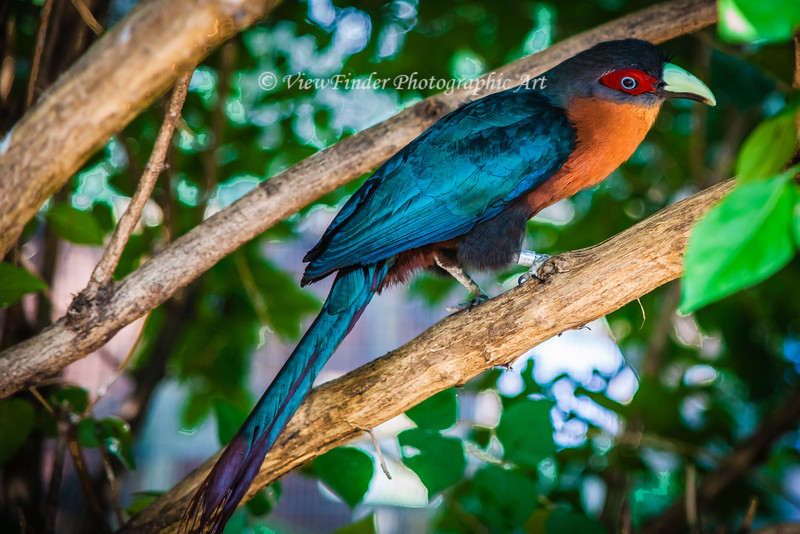 This is a Male Chestnut-Breasted Malkoha, a member of the cuckoo family native to Southeast Asia.  This image was made at at Mill Mountain Zoo in Roanoke, Virginia.