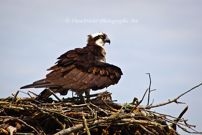 Osprey on the James River guards her nest and offspring from prying eyes and postential danger.