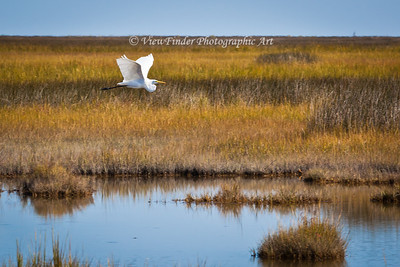 Great White Egret scans the wetlands while in flight.